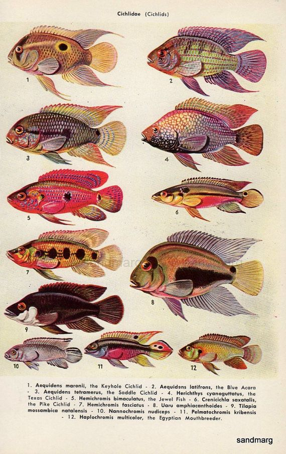 Tropical Fish Chart Tooth Carps and Cichlids for Framing | ICHTIO ...