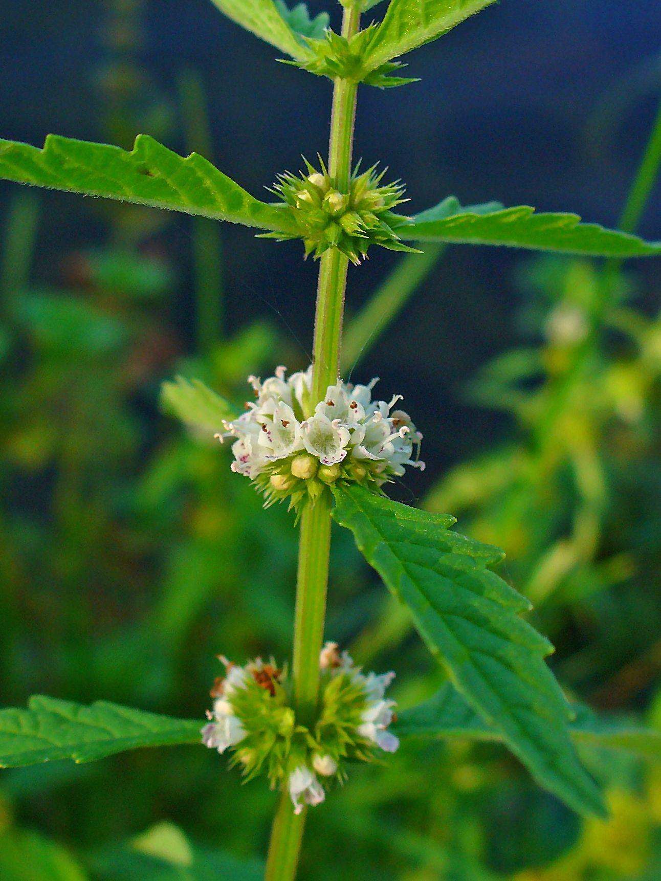 Bugleweed (Lycopus Virginicus)   Used for hyperactive thyroid