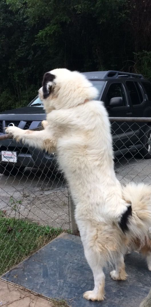 Great Pyrenees Sophie Great Pyrenees Pets Animals