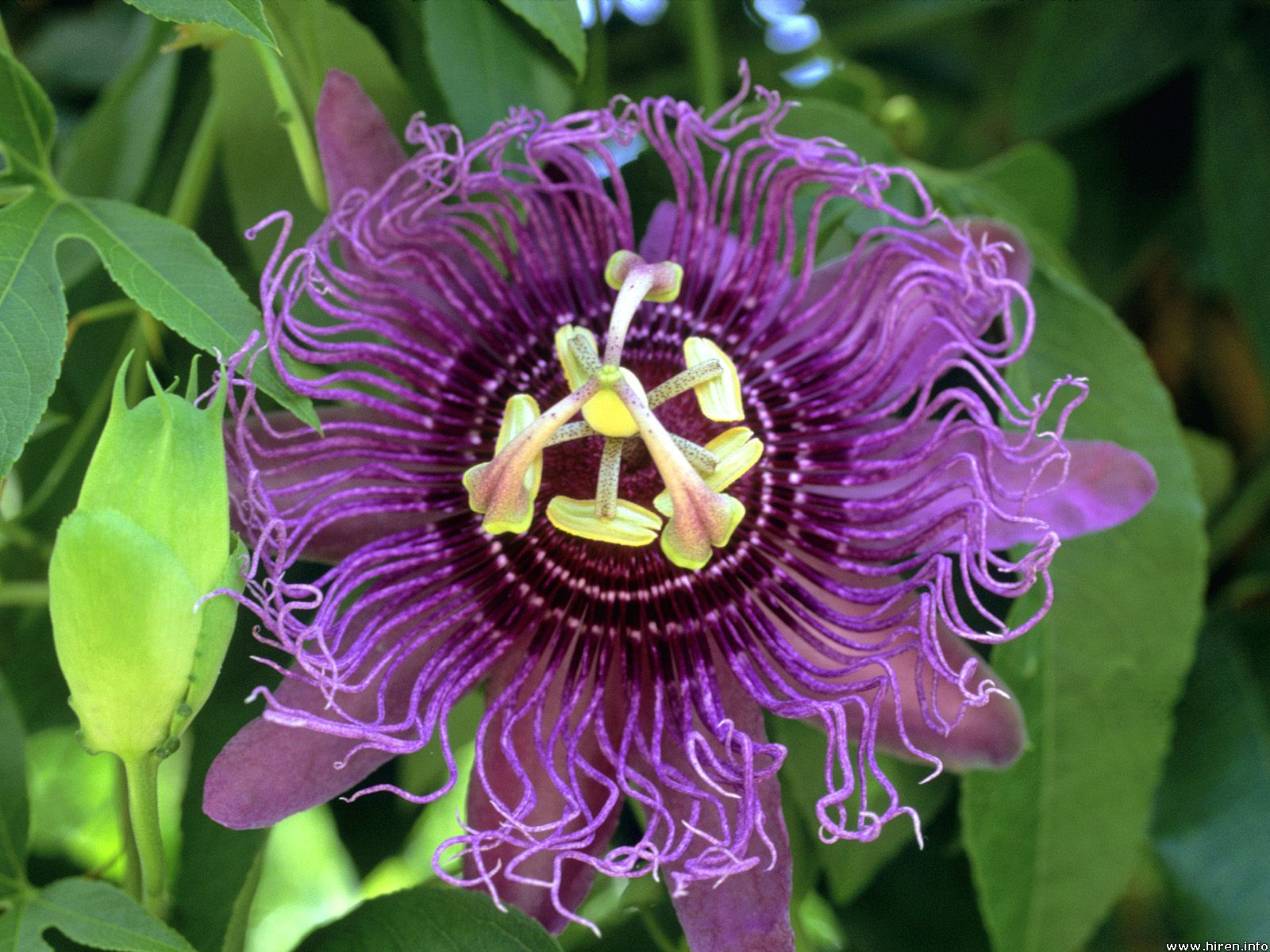 The Purple Passion Fruit Flower The Vine Grows Wild And Is Valued For Its Flavor And Aroma Which Helps Passion Fruit Flower Rainforest Flowers Passion Flower