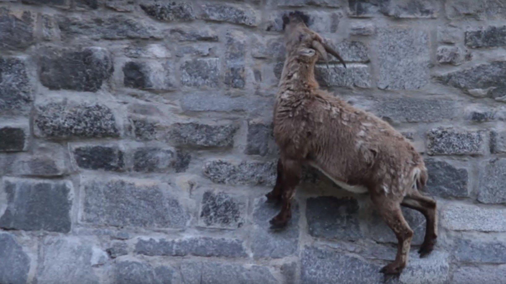 Watch Alpine goats scale a near-vertical dam in Italy | yettio.com