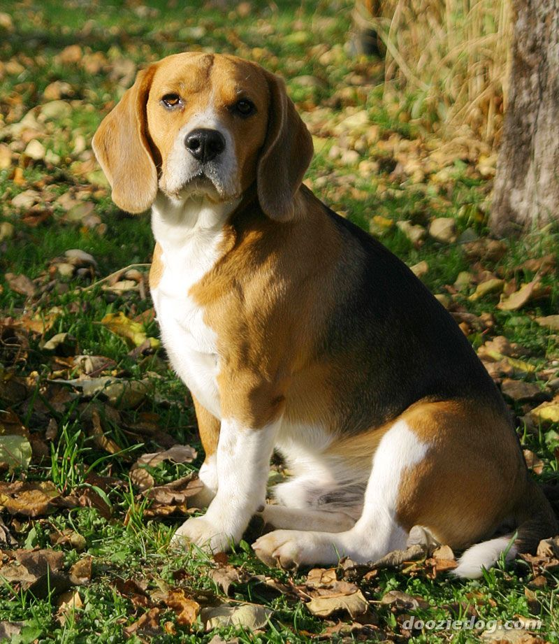 8 Different Types Of Beagles You Should To Know Dogs Puppies