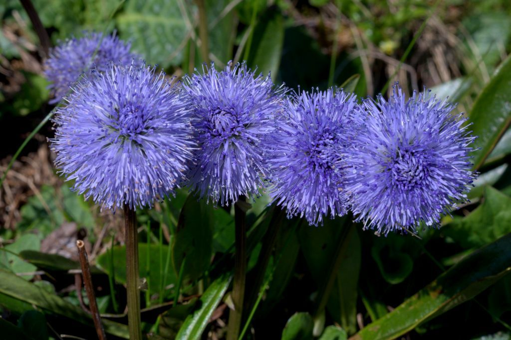 Globularia Nudicaulis Globe Flower Planting Flowers Flowers