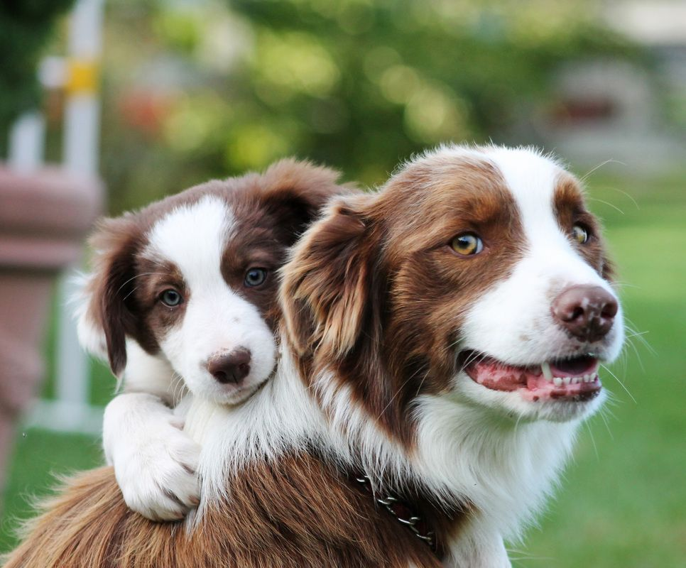 Red And White Border Collies Google Search Collie Dog Dog