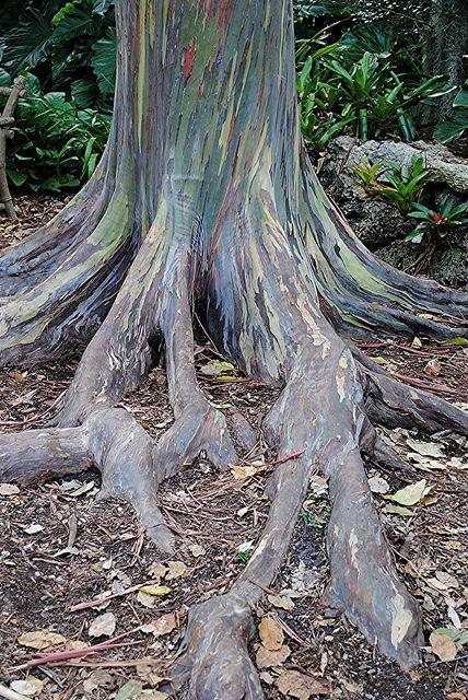 Rambling Colorful Roots Of Rainbow Eucalyptus Rainbow Eucalyptus