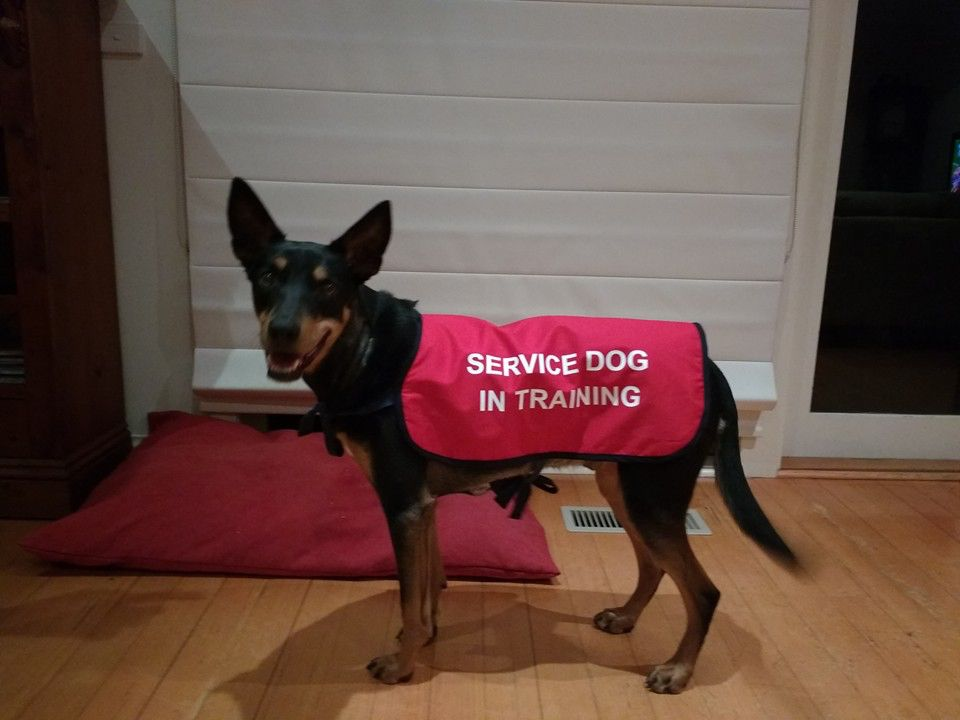 Service Dog In Training dog jacket by MyCraftyDog Rescue