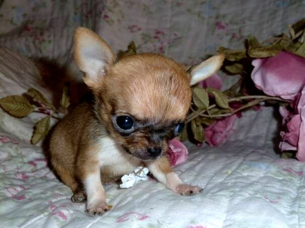 Little Munchkin Puppy Dog Pictures Chihuahua Puppies Teacup