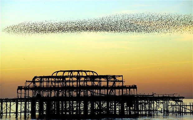 Image result for starling murmuration brighton