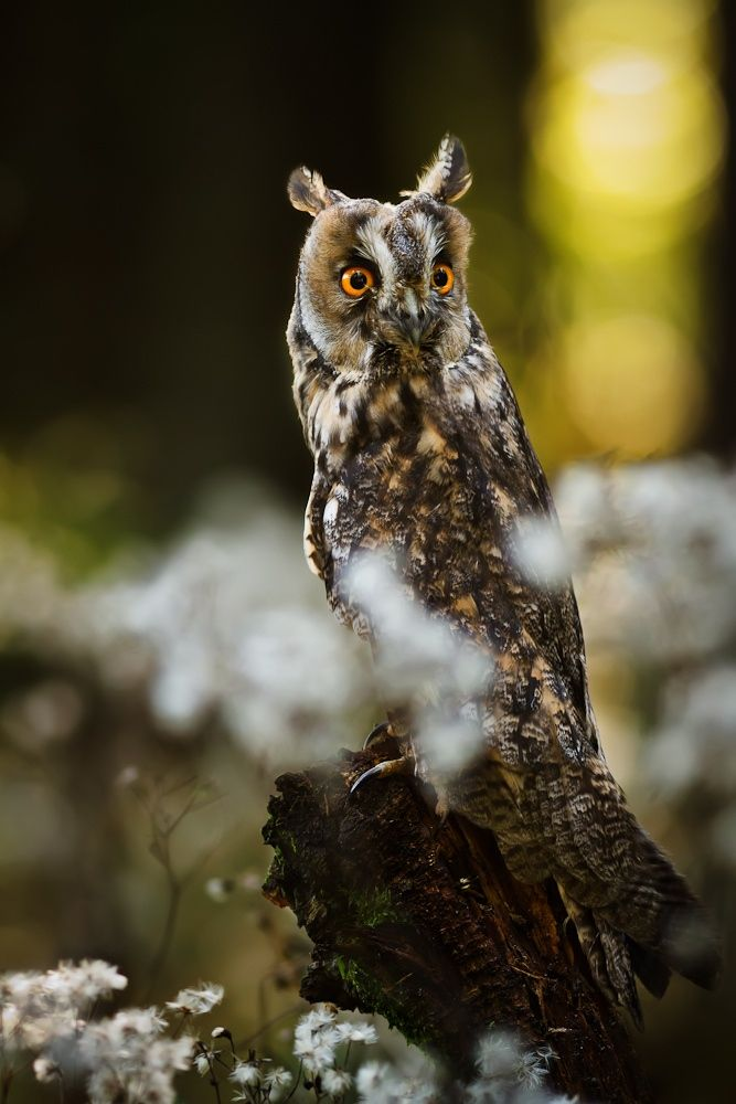 Long-eared Owl by Vlado Kucharovic on 500px