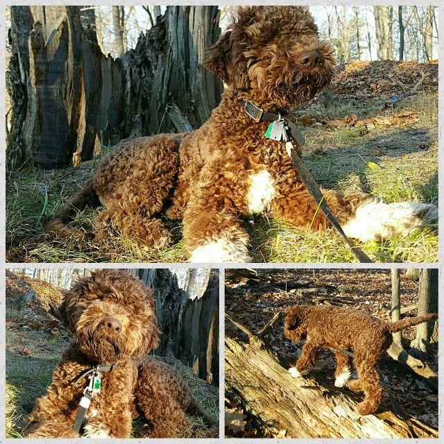 Lagotto Romagnolo Puppy 5 Months Mascotas Perros