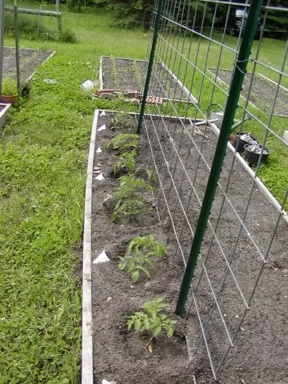 16 ft Cattle panel tomato trellis Doing this with my 8 ft concrete