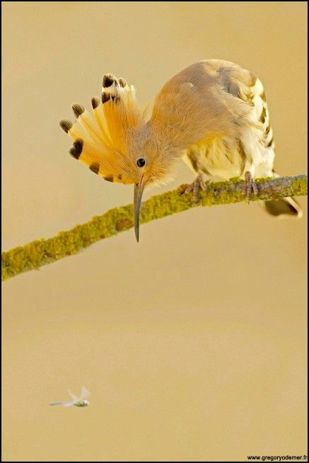 Hoopoe  eying a dragonfly by Gregory Odemer