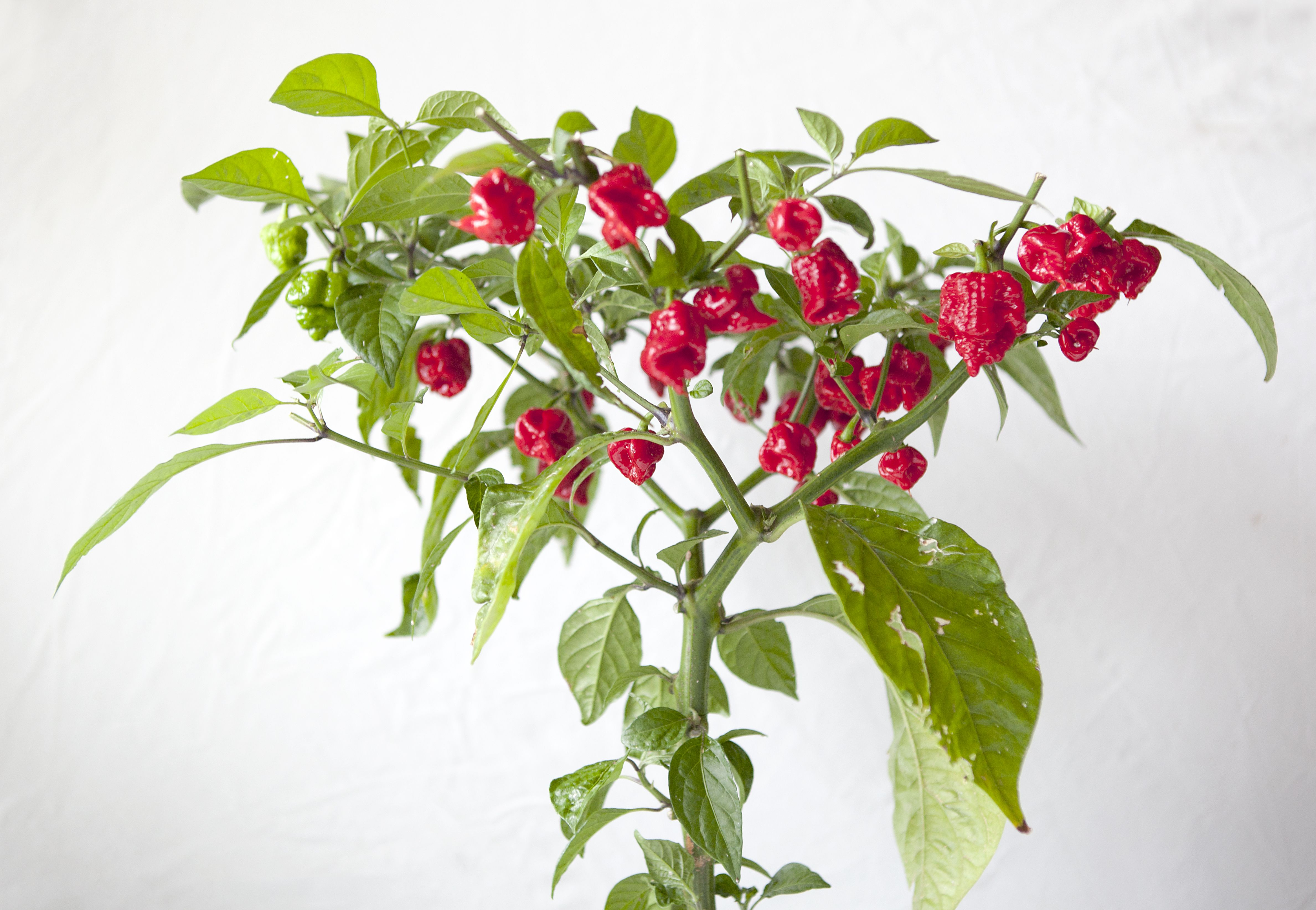 Carolina Reaper Plant Cur Hottest In The World Final Pruning