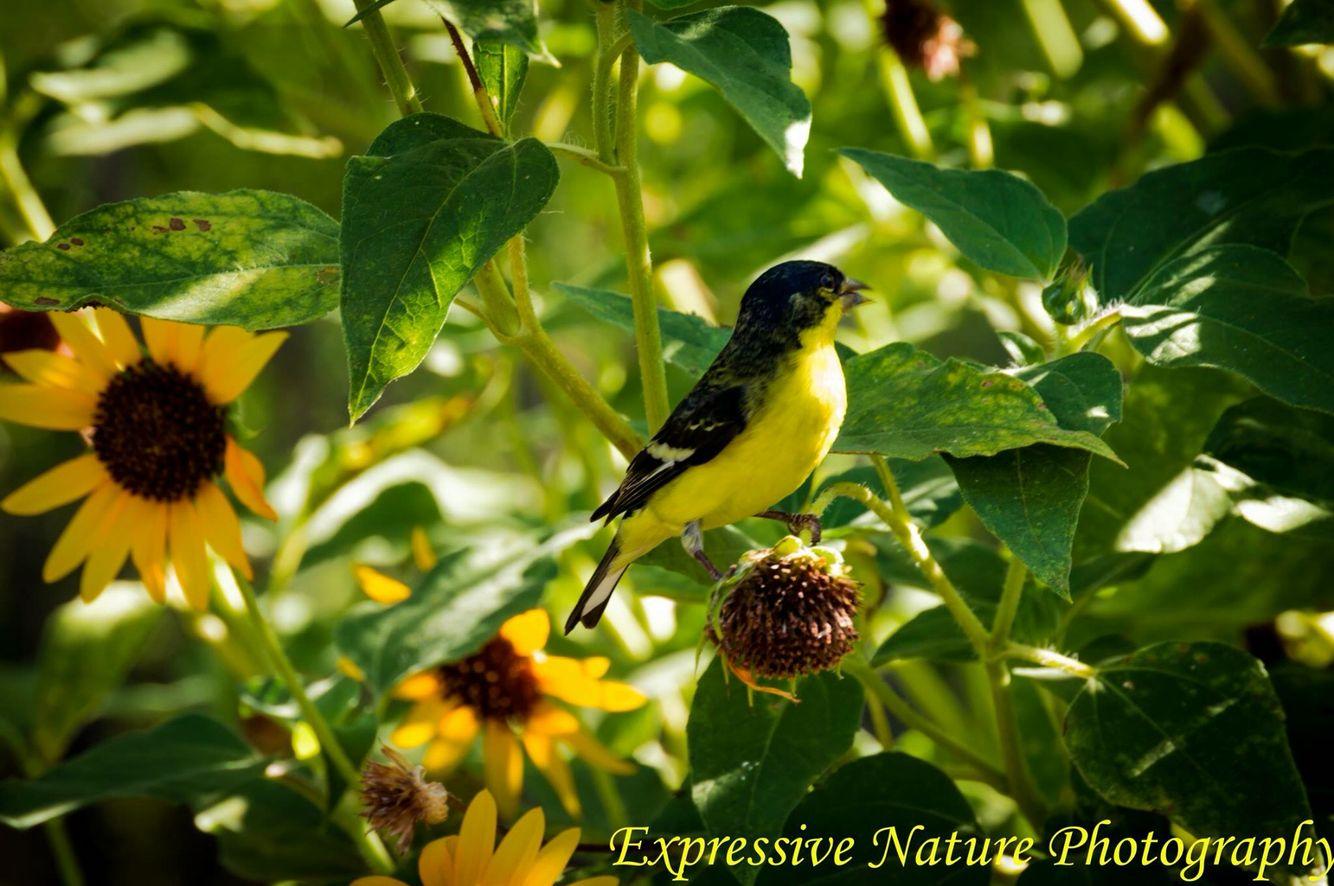 Phoenix Desert Botanical Garden yellow finch