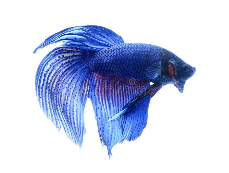 Siamese Fighting Fish Betta Isolated On White Background Ad Fish Fighting Siamese Betta Background Siamese Fighting Fish Betta White Background