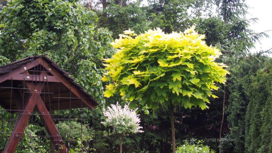 Szczepione Na Pniu House Styles Plants Golden Globes