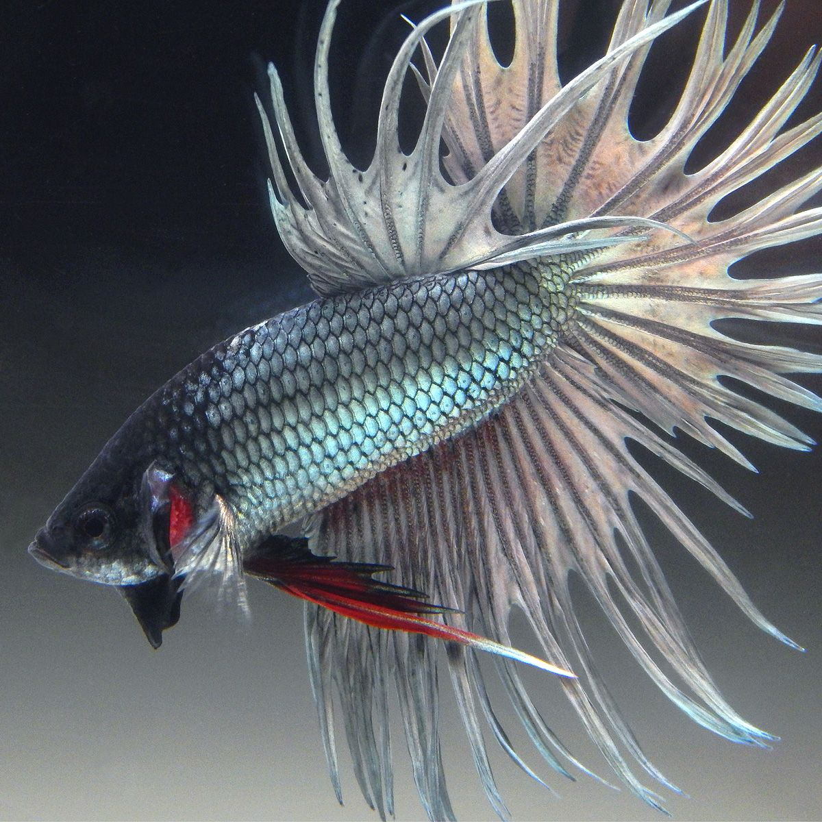 Live Betta Fish Male Silver Copper Crowntail Betta Fish Betta Aquarium Betta