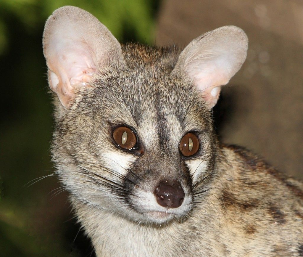 Pin On Large Spotted Genet