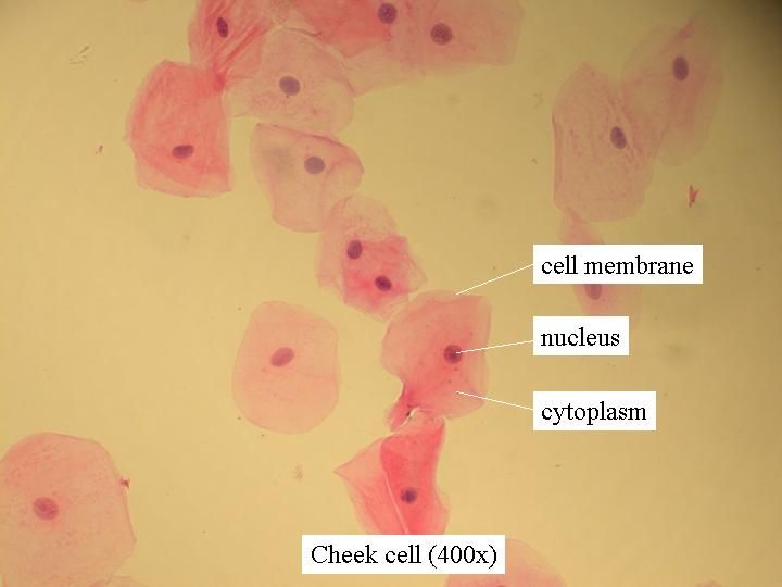Cells and dna lesson school life science and science cells this is an image that shows a cheek cell under a microscope and it shows what each part is ccuart Images