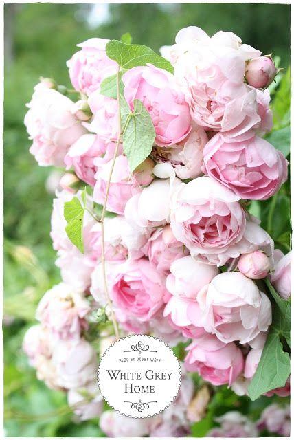 Herzogin Christiana ® Garten Pinterest Rose, Gärten und Pflanzen - rose aus stein deko