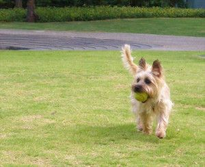 The Cairn Terrier From My Blog Post On Non Shedding Dogs Best