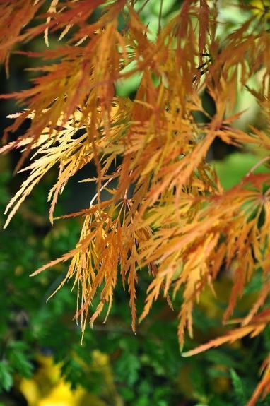 Growing and Care For Japanese Maples #japanesemaple Growing and Care For Japanese Maples | Hometalk #japanesemaple Growing and Care For Japanese Maples #japanesemaple Growing and Care For Japanese Maples | Hometalk #japanesemaple