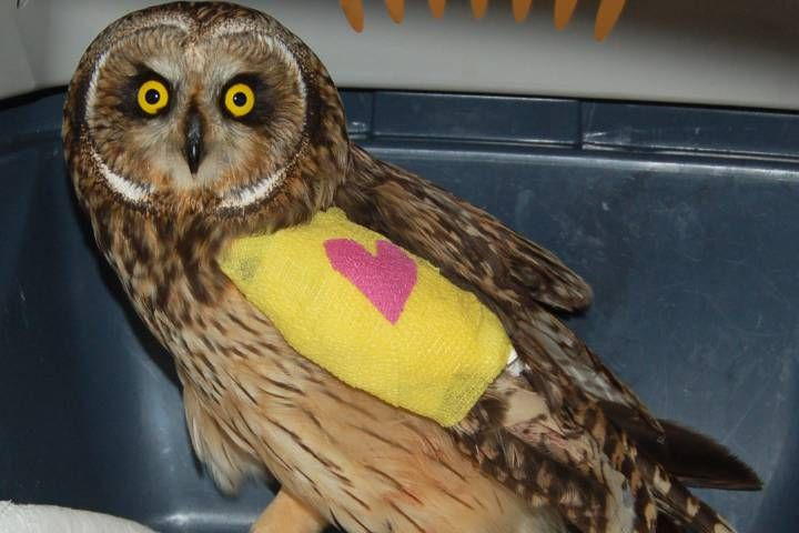#BC SPCA looks for public's help to pay $4000 vet bill for rare owl - Globalnews.ca: Globalnews.ca BC SPCA looks for public's help to pay…