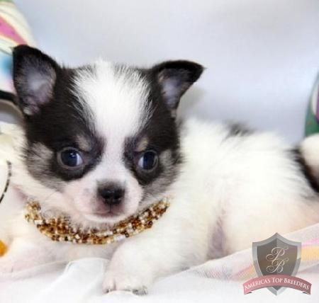 Madison The Female Chihuahua Tennessee Chihuahua Breeders
