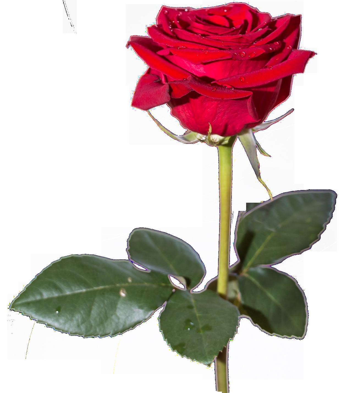 Rose Png Image Rose Flower Png Red Rose Png Rose Images Hd
