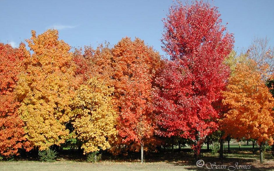Canadas National Tree The Sugar Maple Acer Saccharum Tolerates