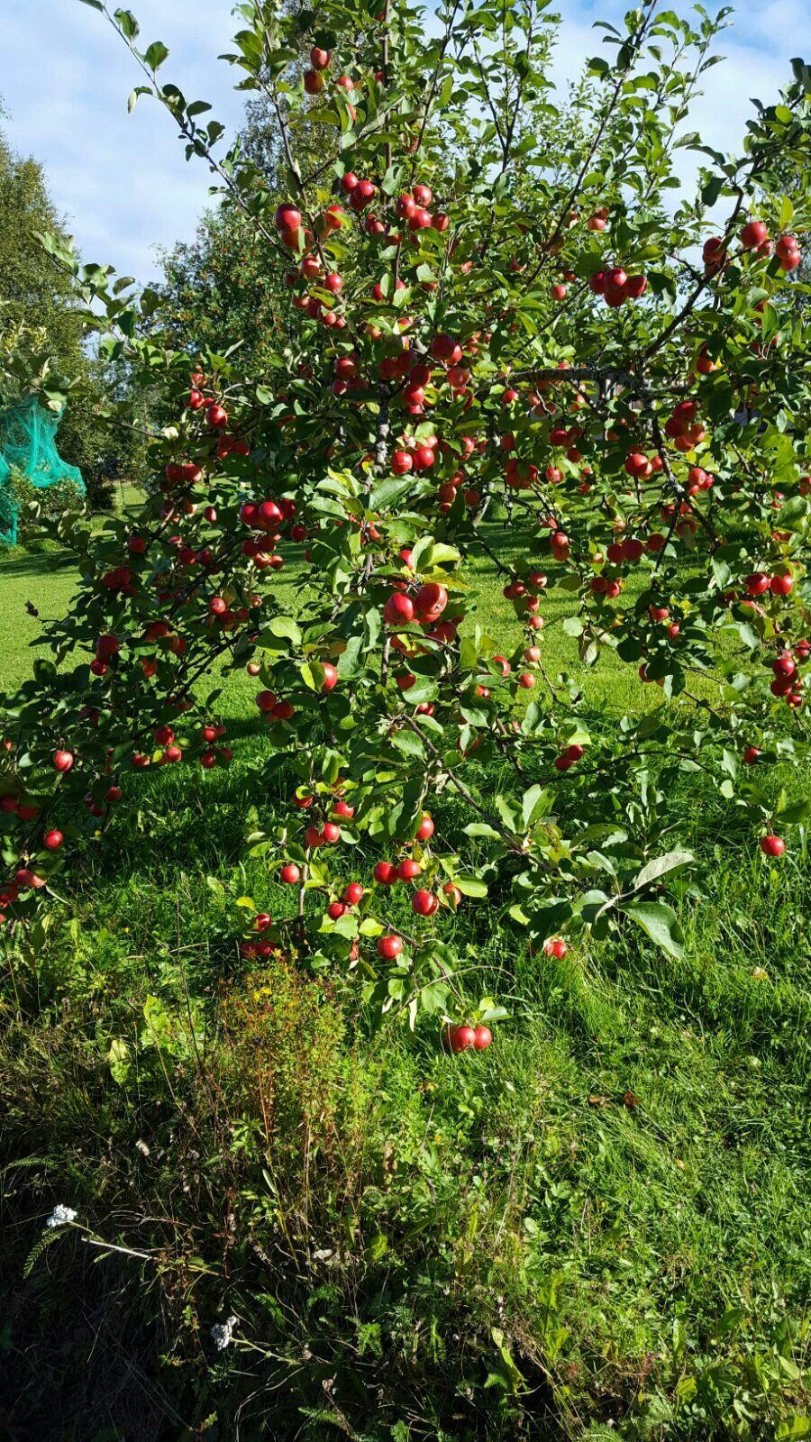 Mummolan omenapuu