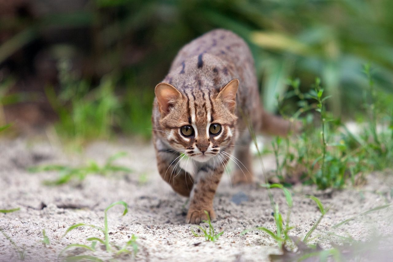 9 tiny wild cats you didn't even know existed Small wild