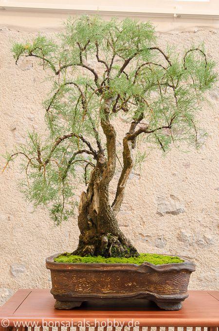 tamarix chinensis als bonsai bonsai b ume pinterest baum bonsai baum und pflanzen. Black Bedroom Furniture Sets. Home Design Ideas