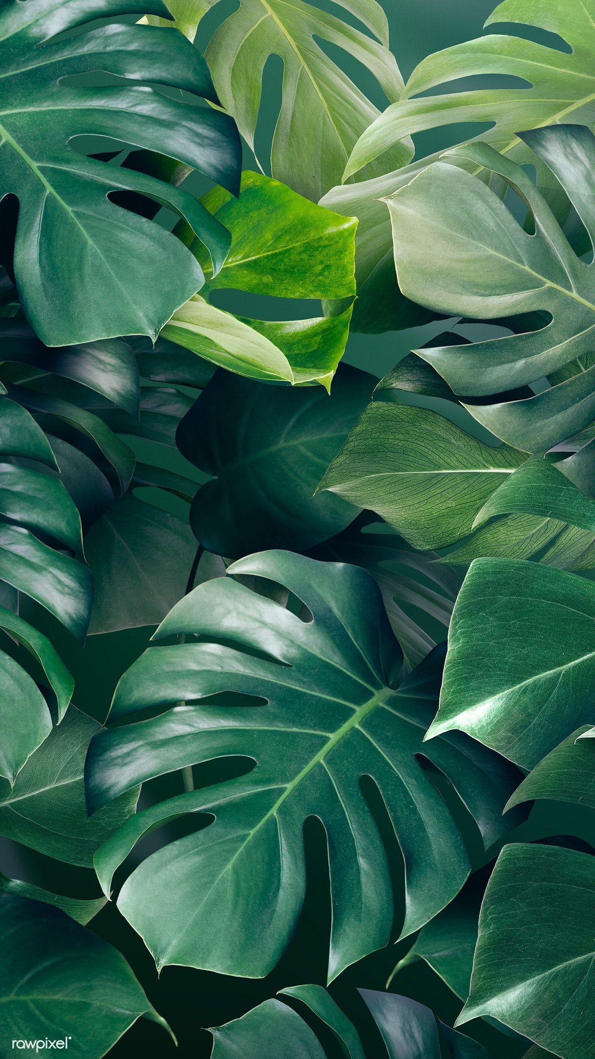 Download premium illustration of Green monstera leaves background design