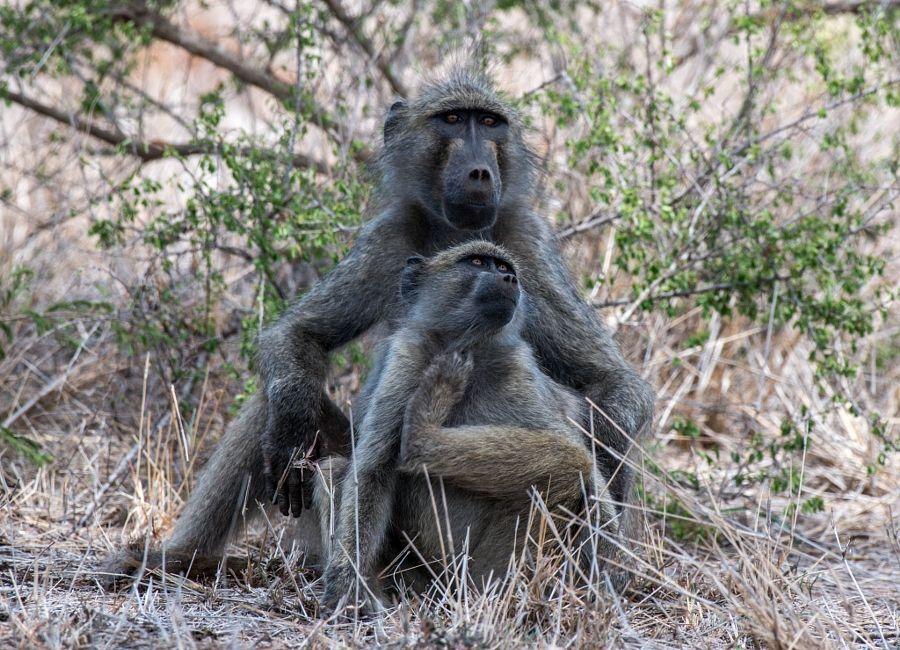 Chacma Baboon Pair by Lauren Pretorius - Photo 149582153 / 500px