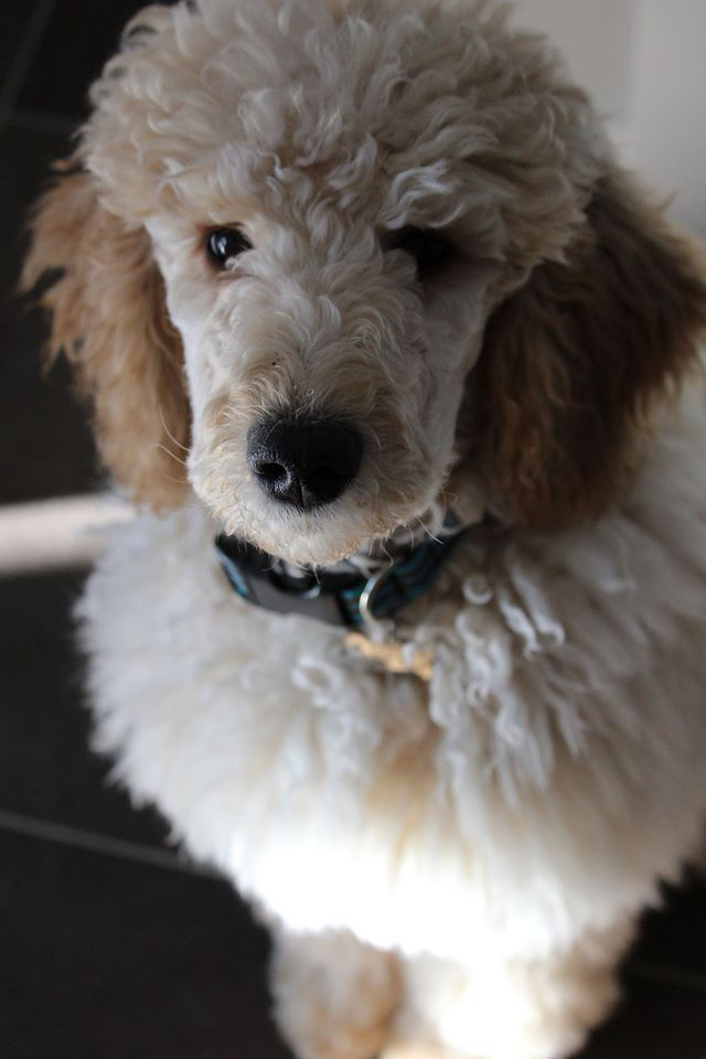 Pin By Sharon Wilson On Just Poodles Poodle Dogs Animals