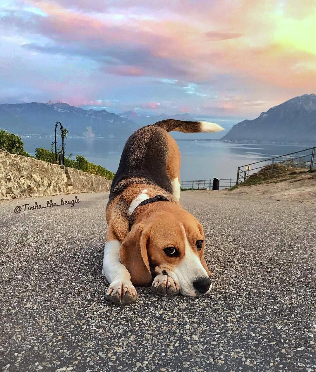 All The Things We All Love About The Happy Beagle Pup Beaglegram