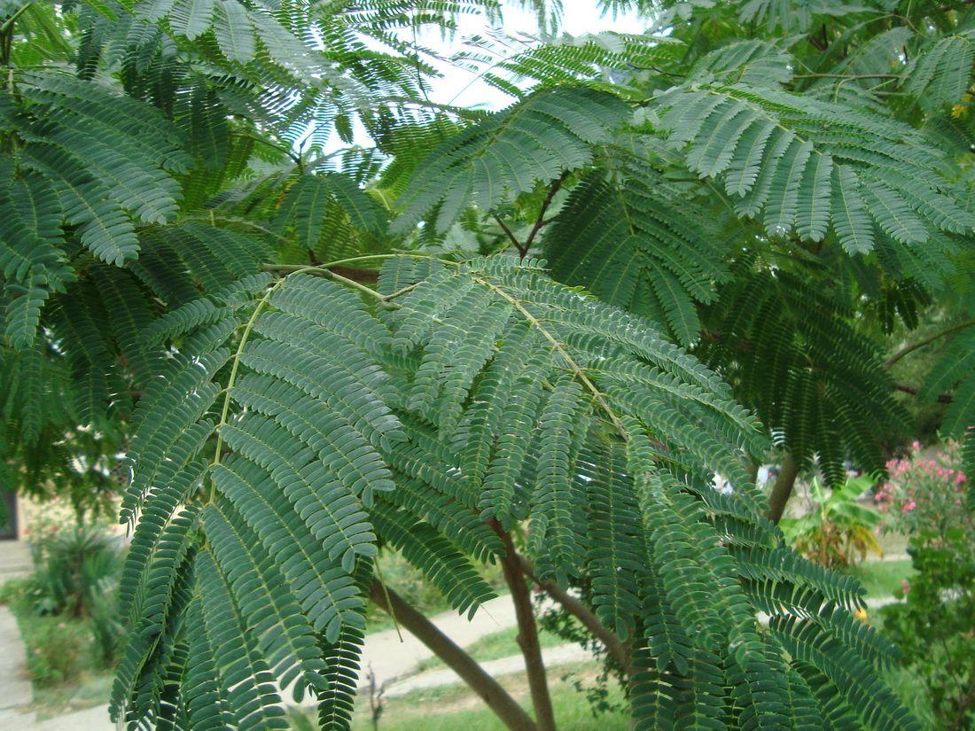 прижились, завели декоративные деревья листья как у акации фото цвету глаз