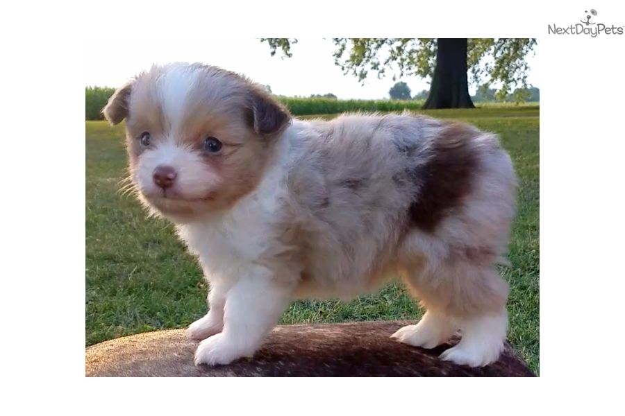 Jack Miniature Australian Shepherd Puppy For Sale Near