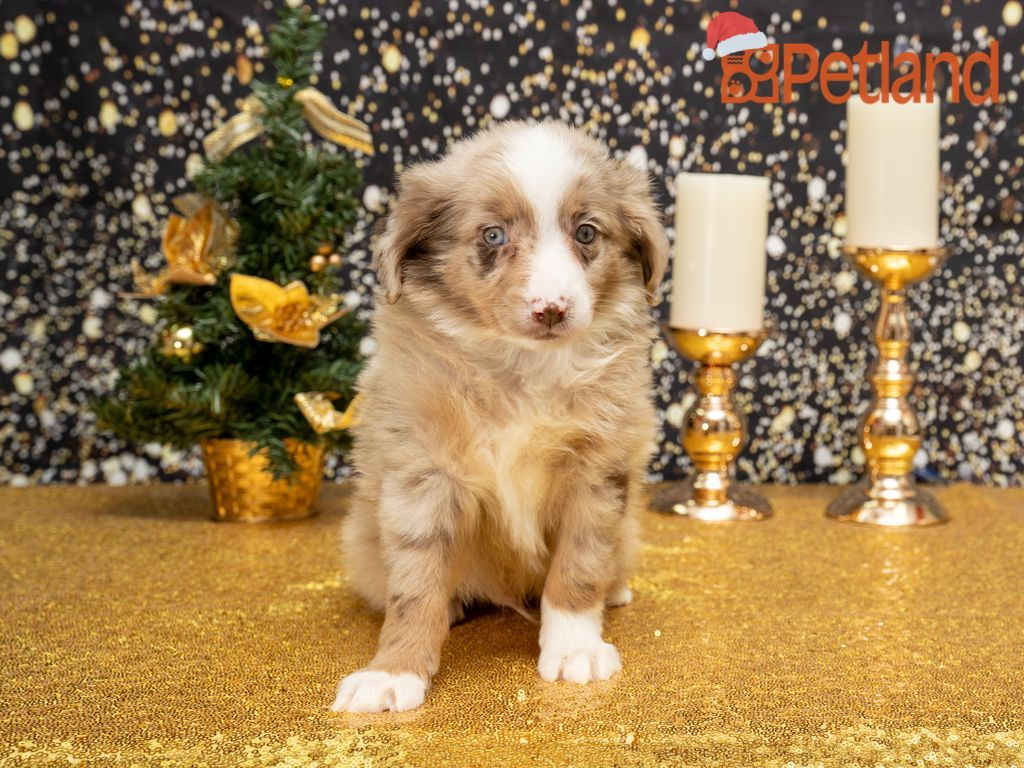 Puppies For Sale in 2020 (With images) Puppy friends