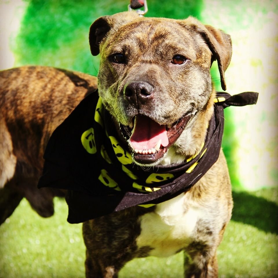 Bengal is a 6 year old Retriever, Labrador/Boxer mix who