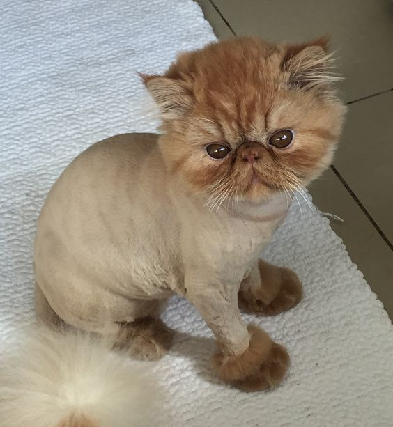 Should I Shave My Cat To Keep Her Cool? - CatTime