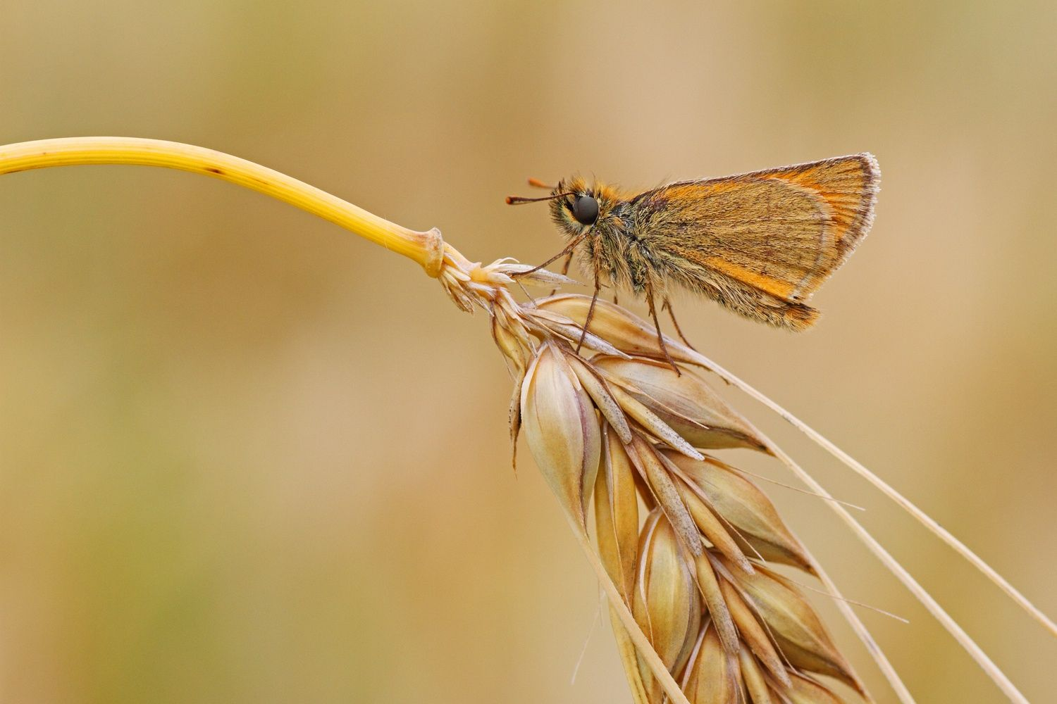 Barley Skipper by Simon Roy on 500px