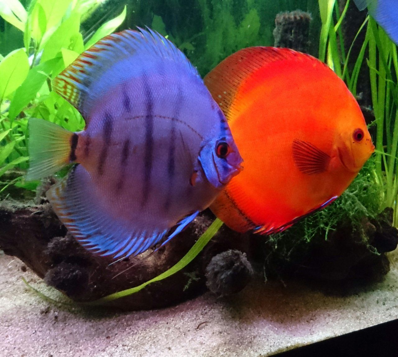 It\'s sad to see that many hobbyists dare to keep discus. They say ...