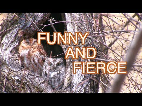 2) eastern screech owls: narrated - youtube | creature feature