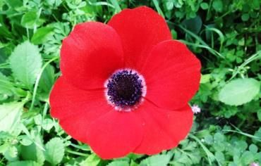 Calanit The Anemone Crowned As Israel S National Flower Flowers Anemone Beautiful Flowers