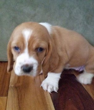 Litter Of 8 Basset Hound Puppies For Sale In Cartersville Ga Adn