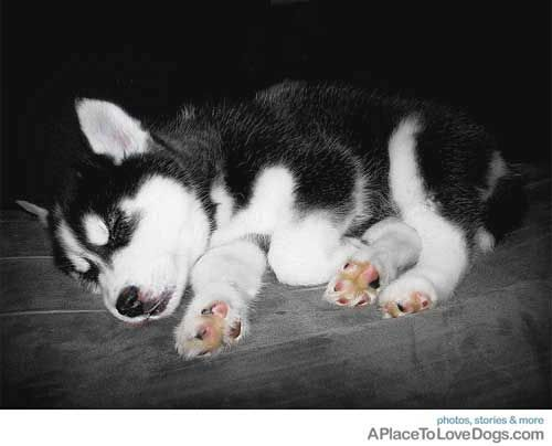 I Want This Puppy Husky Puppy Cute Husky Puppies Cute Animals