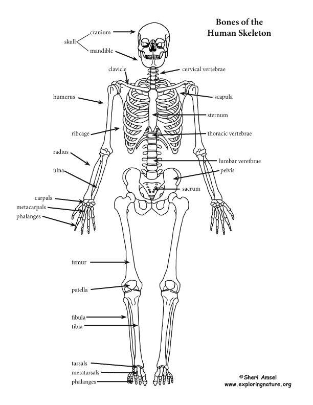 Skeletondetailed72g 612792 Documents Pinterest