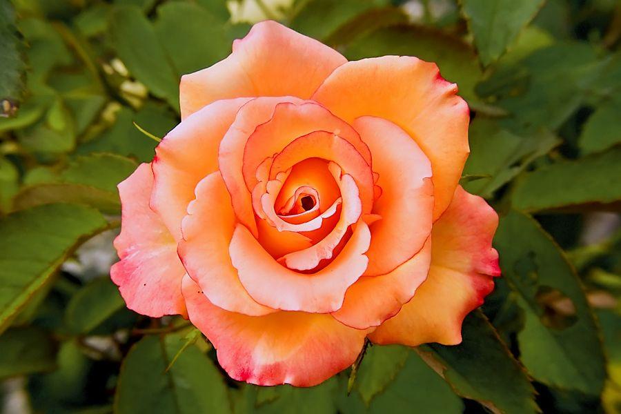 ORANGE FLOWER ROSES